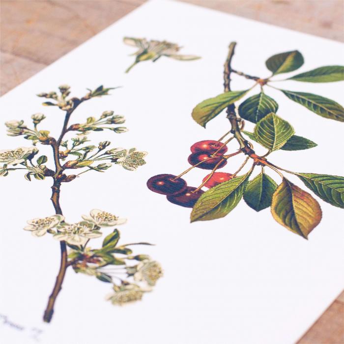 Cires, desen botanic clasic, ilustratie cu flori si fructe 2