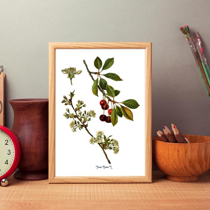 Cires, desen botanic clasic, ilustratie cu flori si fructe 4