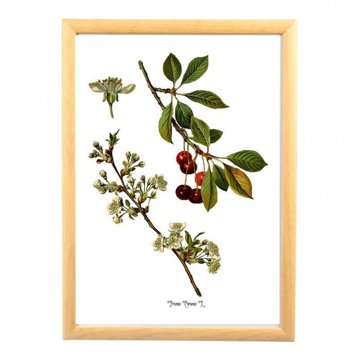 Cires, desen botanic clasic, ilustratie cu flori si fructe 0