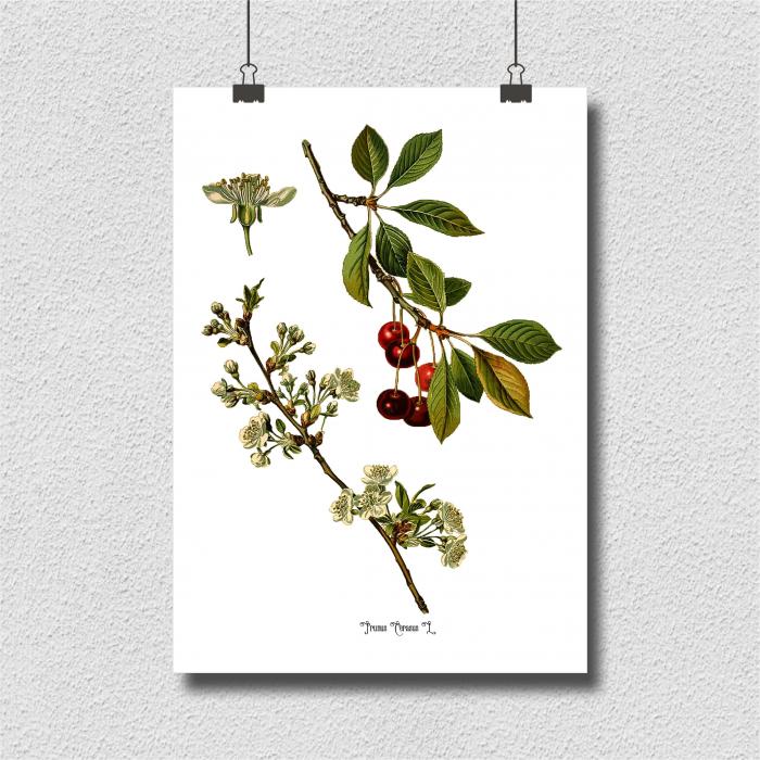 Cires, desen botanic clasic, ilustratie cu flori si fructe 3