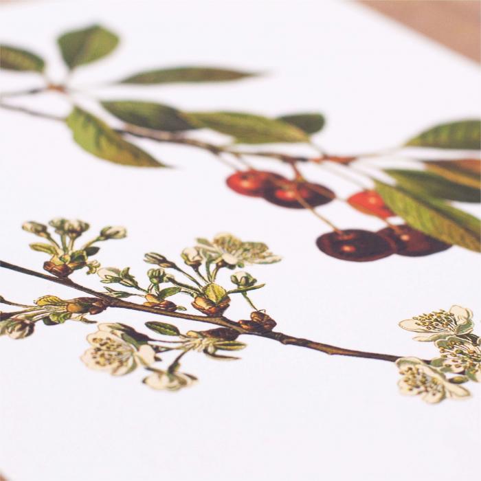 Cires, desen botanic clasic, ilustratie cu flori si fructe 1