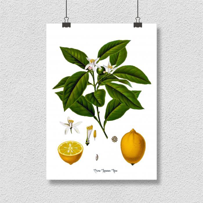 Set 2 Tablouri Citrice, Portocala, Lamaie, print ilustratie botanica clasica 8