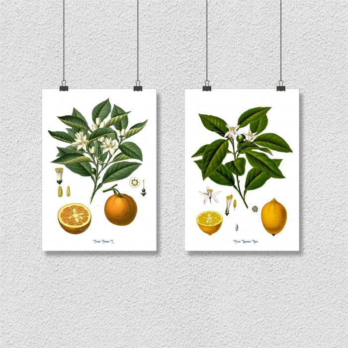 Set 2 Tablouri Citrice, Portocala, Lamaie, print ilustratie botanica clasica 6