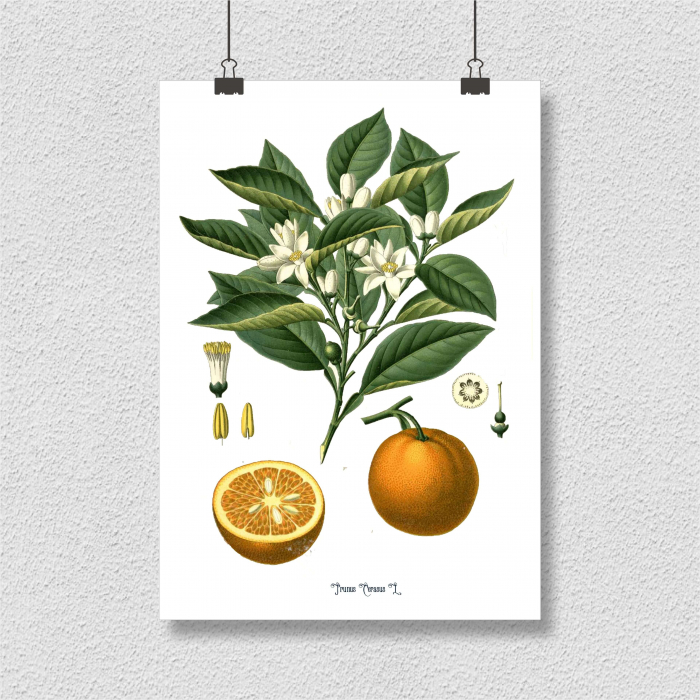 Set 2 Tablouri Citrice, Portocala, Lamaie, print ilustratie botanica clasica 7