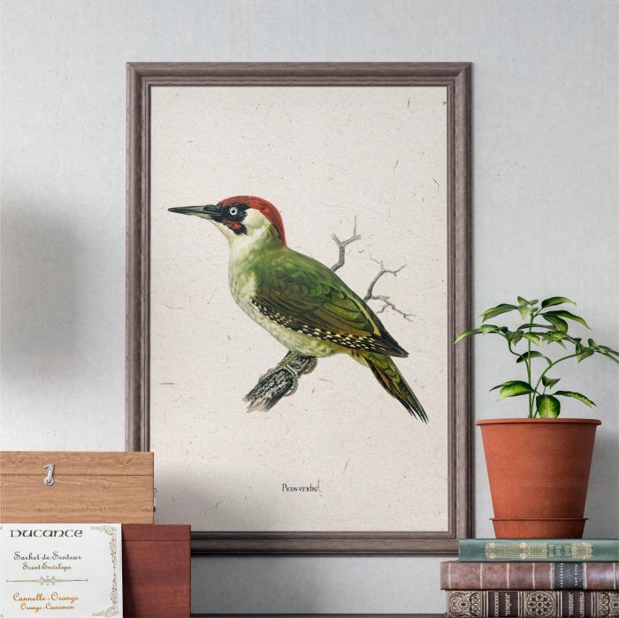 Ciocanitoare verde, ilustratie vintage 0