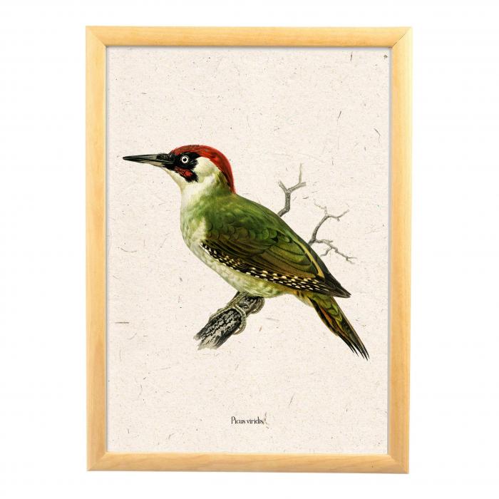 Ciocanitoare verde, ilustratie vintage 4