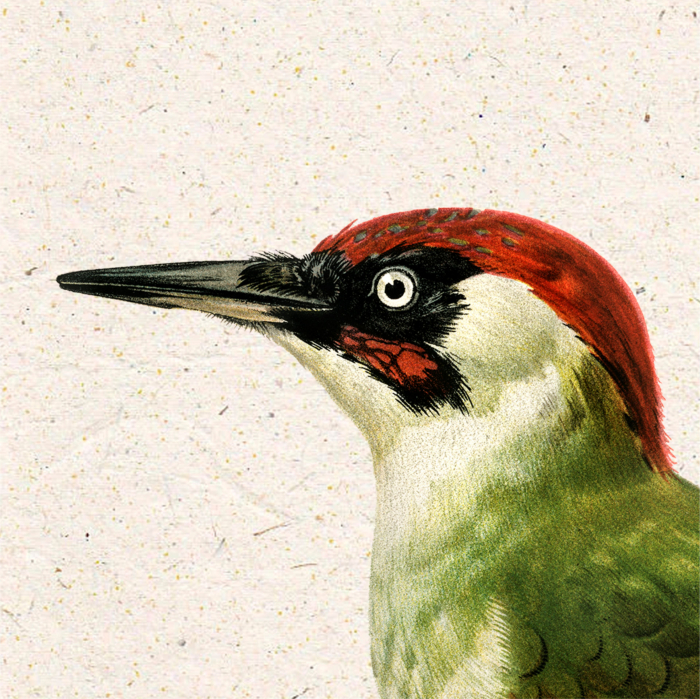 Ciocanitoare verde, ilustratie vintage 2