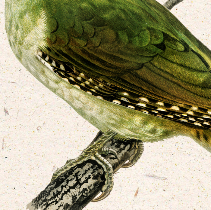 Ciocanitoare verde, ilustratie vintage 3