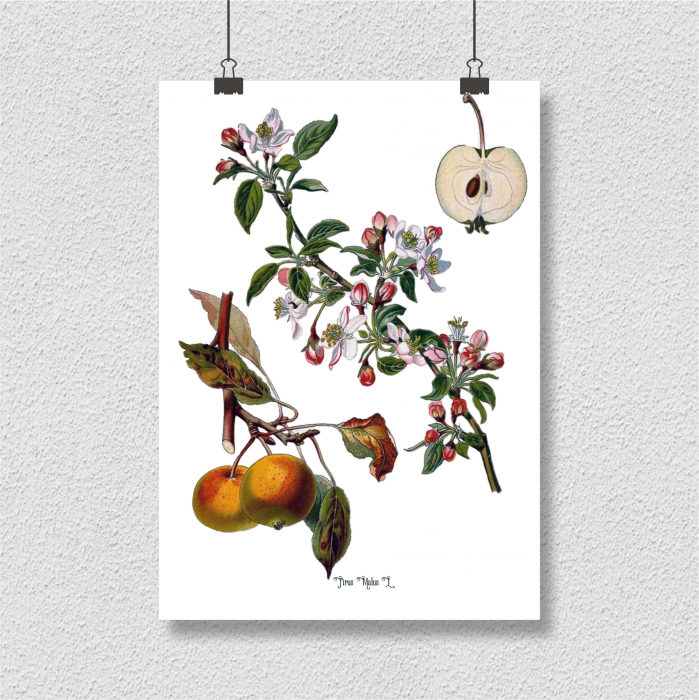Mar, desen botanic clasic, fructe de tomana, desen vintage 4