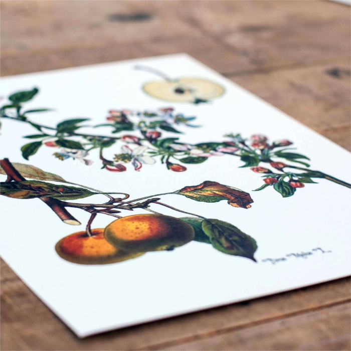 Mar, desen botanic clasic, fructe de tomana, desen vintage 3
