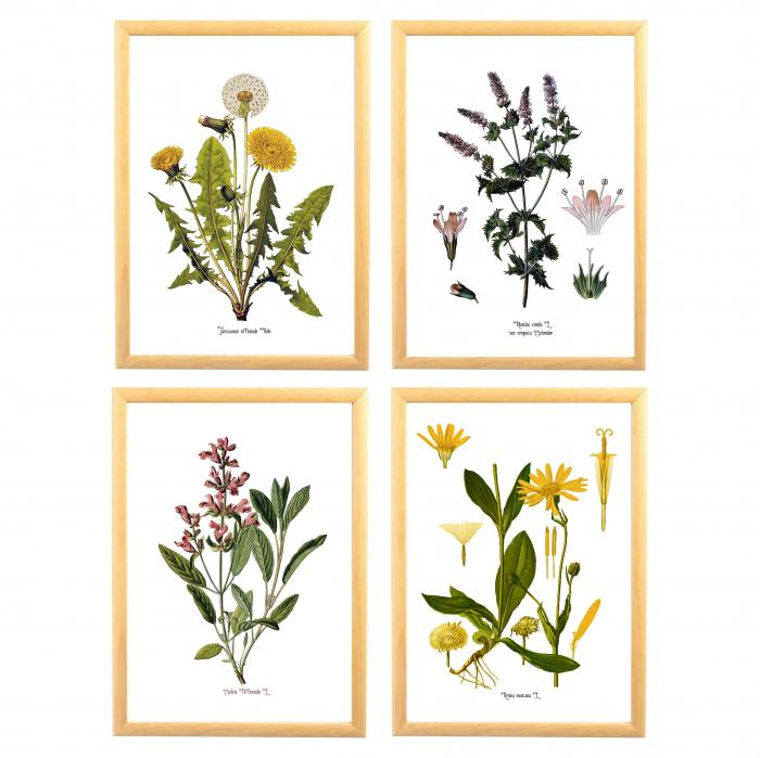 Set 4 tablouri Plante Medicinale, Papadie, Menta, Salvia, Arnica 0