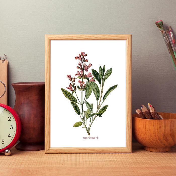 Salvia, desen botanic clasic, ilustratie cu plante aromatice 1