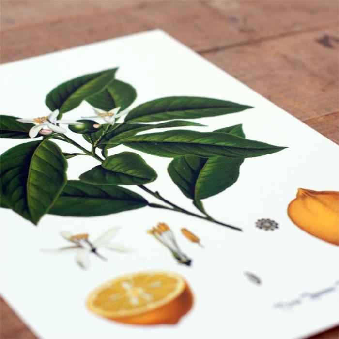 Set 2 Tablouri Citrice, Portocala, Lamaie, print ilustratie botanica clasica 4