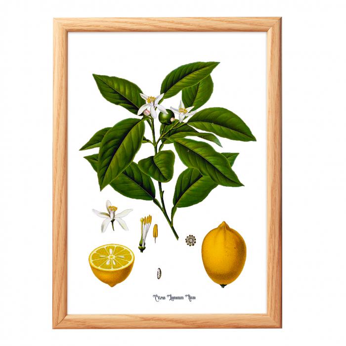 Set 2 Tablouri Citrice, Portocala, Lamaie, print ilustratie botanica clasica 2