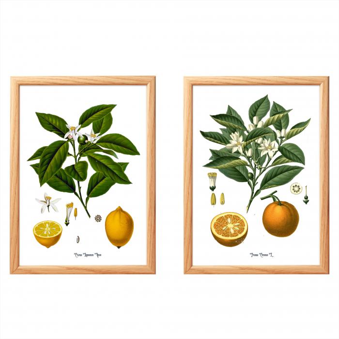 Set 2 Tablouri Citrice, Portocala, Lamaie, print ilustratie botanica clasica 0