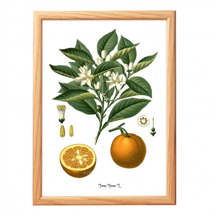 Set 2 Tablouri Citrice, Portocala, Lamaie, print ilustratie botanica clasica 1