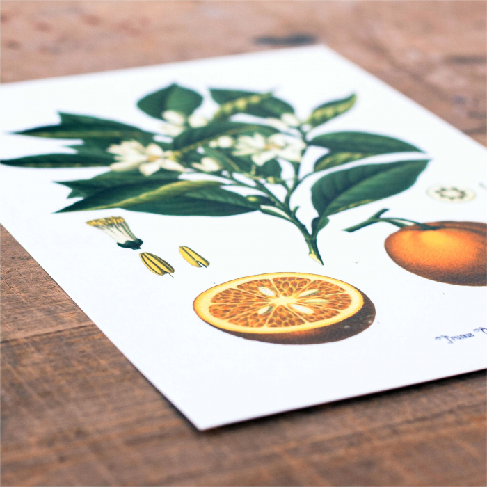Set 2 Tablouri Citrice, Portocala, Lamaie, print ilustratie botanica clasica 3