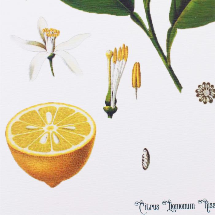 Lamaie, desen botanic clasic, ilustratie vintage [4]