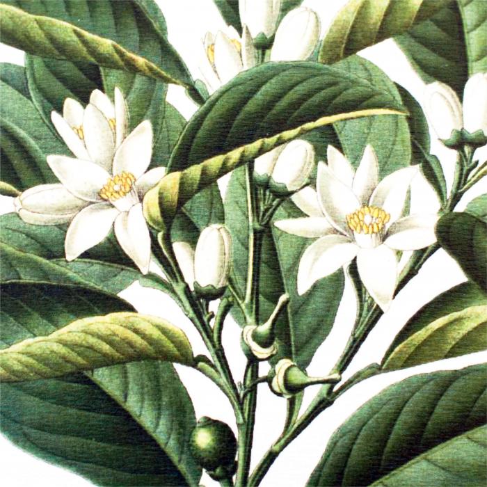 portocala desen botanic clasic 3