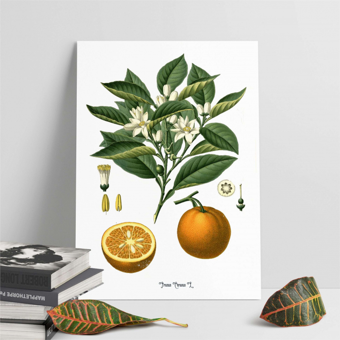 portocala desen botanic clasic 5