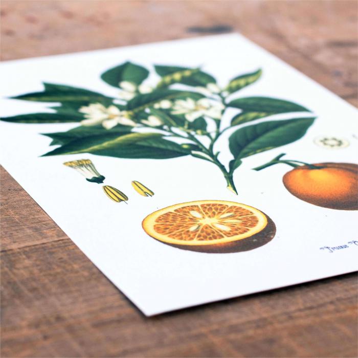 portocala desen botanic clasic 2