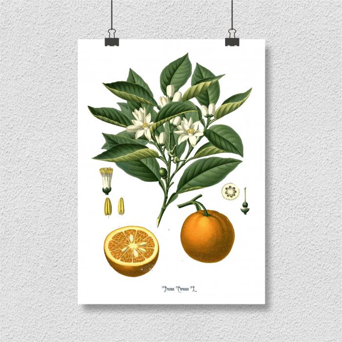 portocala desen botanic clasic 4