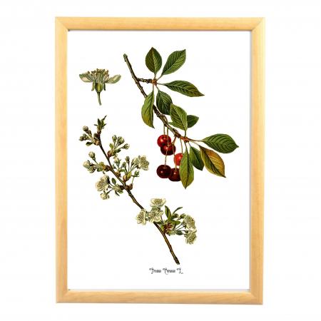 Tablou Cires, 21x30cm, desen botanic clasic0