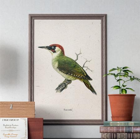 Ciocanitoare verde, ilustratie vintage0