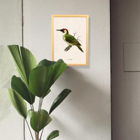Ciocanitoare verde, ilustratie vintage [0]