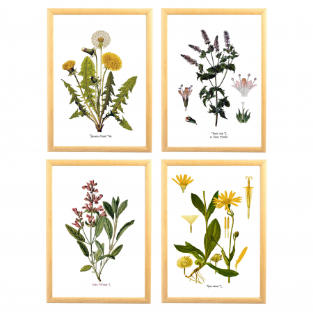 Set 4 Tablouri Plante Medicinale, Papadie, Menta, Salvia, Arnica0