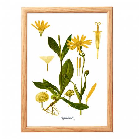 Set 6 Tablouri Pante Medicinale, 21x30cm, Papadie, Menta, Mac, Soc, Salvia, Arnica6