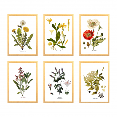 Set 6 Tablouri Pante Medicinale, 21x30cm, Papadie, Menta, Mac, Soc, Salvia, Arnica0