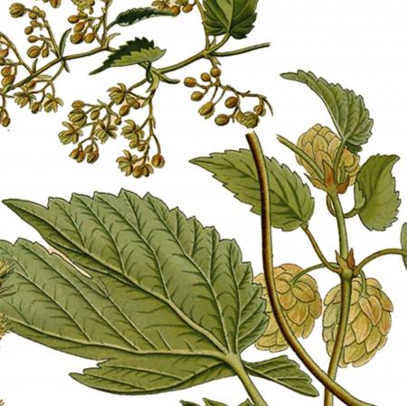 Tablou Hamei, 21x30cm, ilustratie botanica clasica2
