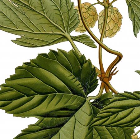 Tablou Hamei, 21x30cm, ilustratie botanica clasica3
