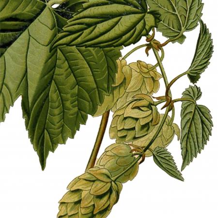 Tablou Hamei, 21x30cm, ilustratie botanica clasica4