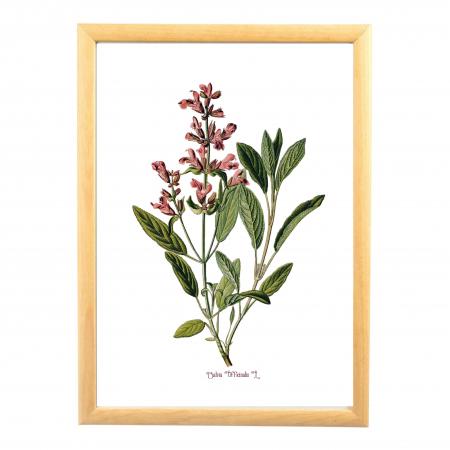 Salvia, desen botanic clasic, ilustratie cu plante aromatice0