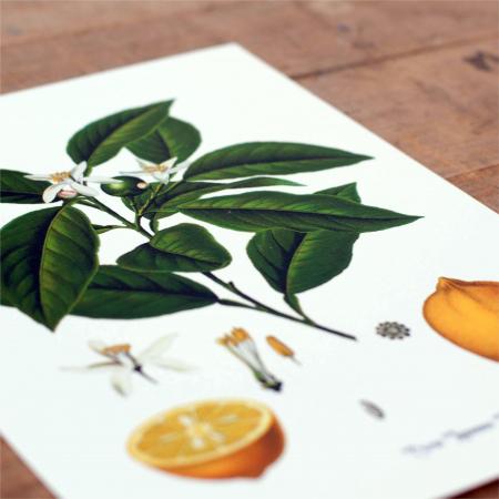 Citrice, set 2 ilustratii botanice clasice4