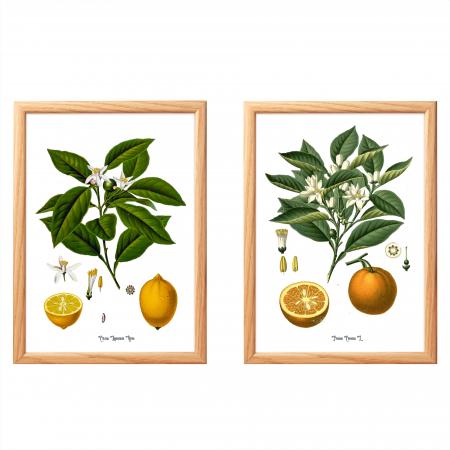 Citrice, set 2 ilustratii botanice clasice0