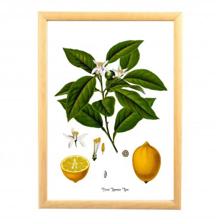 Lamaie, desen botanic clasic, ilustratie vintage [0]