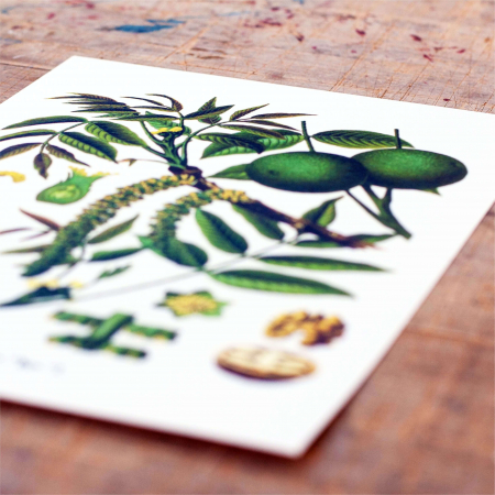 Tablou Nuca, 21x30cm, desen botanic clasic1