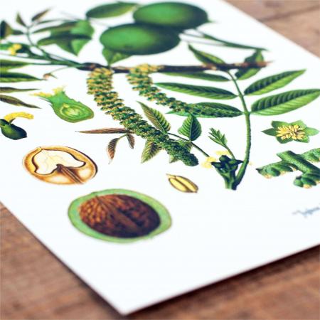 Tablou Nuca, 21x30cm, desen botanic clasic2