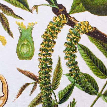 Tablou Nuca, 21x30cm, desen botanic clasic3