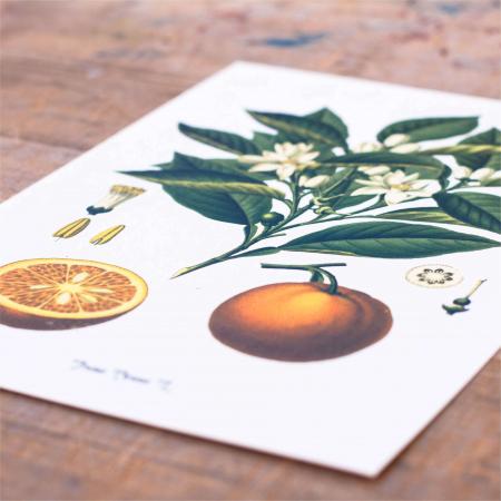 Tabou Portocala, 21x30cm, desen botanic clasic1