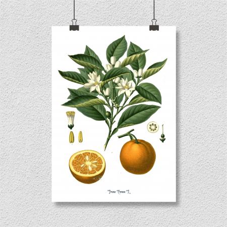 Tabou Portocala, 21x30cm, desen botanic clasic4