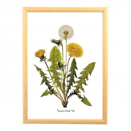 Papadia, desen botanic clasic, ilustratie cu flori de camp,  plante medicinale0