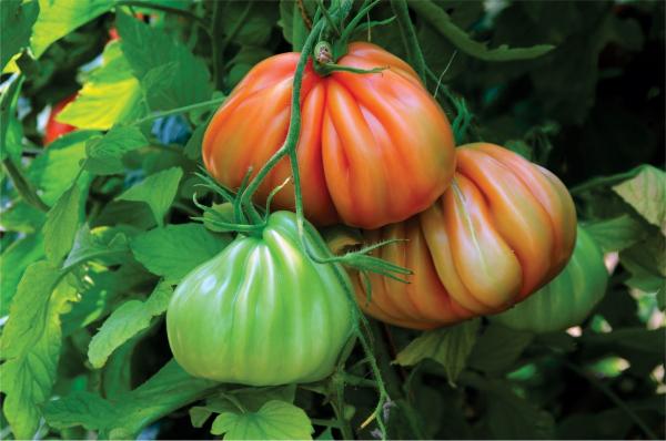 Seminte de tomate nedeterminate Arawak F1, 500 sem 0