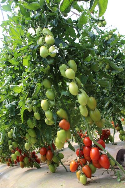 Seminte de tomate nedeterminate, prunisoare, Bacalar F1, 500 sem 1