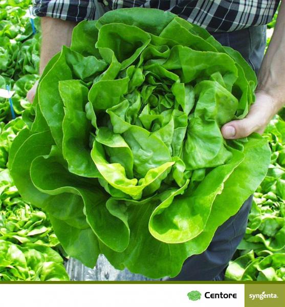 Seminte de salata Centore F1 [0]
