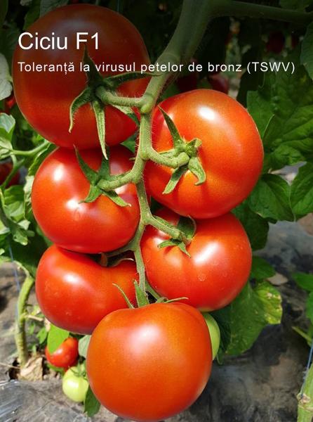 Seminte de tomate nedeterminate Ciciu F1, 500 sem 0