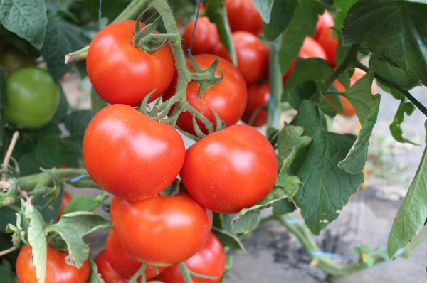 Seminte de tomate nedeterminate Ciciu F1, 500 sem 3